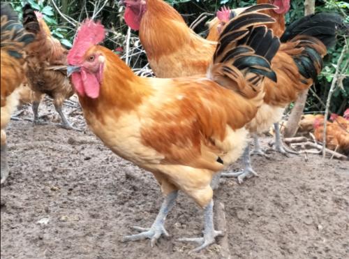 120天土鸡