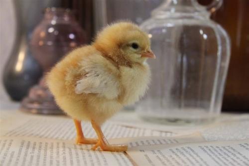 你知道怎样提高黑土鸡群自身免疫力嘛?