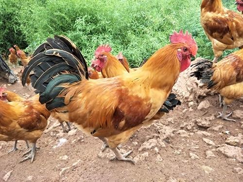 怎样做好乌皮土鸡的选育?