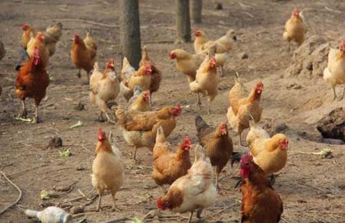 果园生态饲养株洲乌皮土鸡有哪些优点