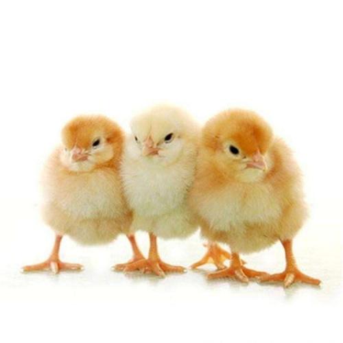 选择鸡苗养殖场要考虑那些?