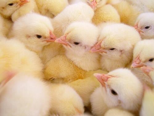 株洲鸡苗孵化的四大要点如下: