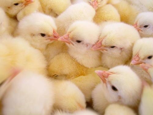 株洲鸡苗育雏有哪些不同方法?又存在哪些不同?
