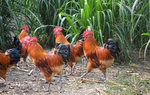 株洲鸡苗厂家讲解秋季蛋鸡的饲养管理方法