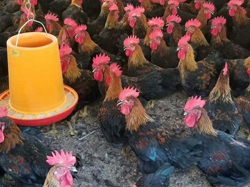 黑土鸡怎么养殖?