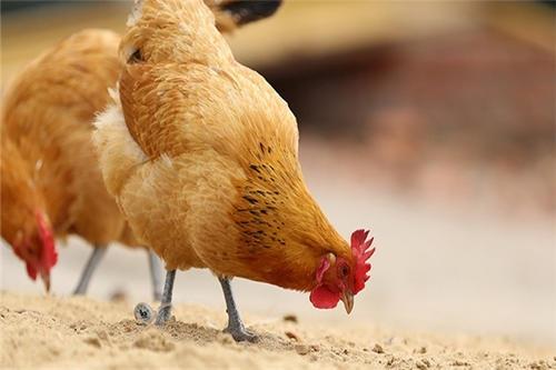 """株洲鸡苗厂家如何理解""""饲养管理""""这四个字"""