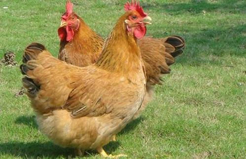 你的放养土鸡为什么不挣钱?