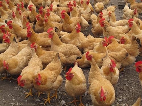 如何才能养殖好鸡苗?