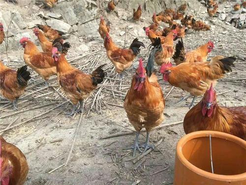 散养土鸡提高养殖成功率的几种有效方法