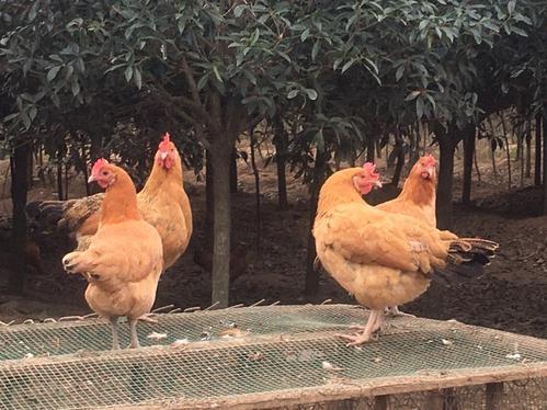 饲养土鸡改如何管理?土鸡养殖有什么优点?