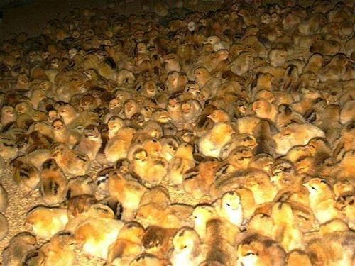 吉泰农牧:刚出壳的土鸡苗应该如何饲养?