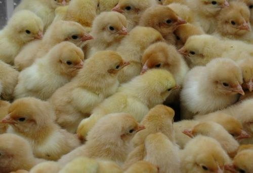 鸡苗孵化要点:怎么挑选高品质土鸡苗