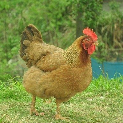 湖南省吉泰农牧土鸡育雏期的7项管理要点