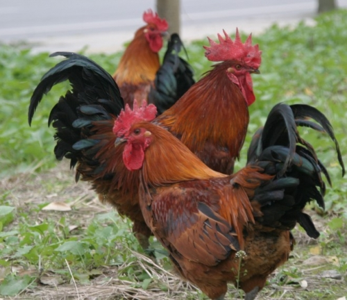 湖南省吉泰农牧从三个方面来告诉您土鸡主要疫病的治疗