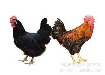 株洲吉泰黑土鸡