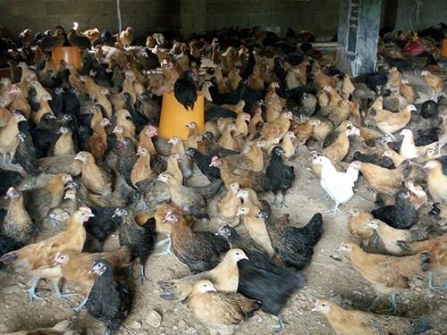 株洲绿壳蛋鸡