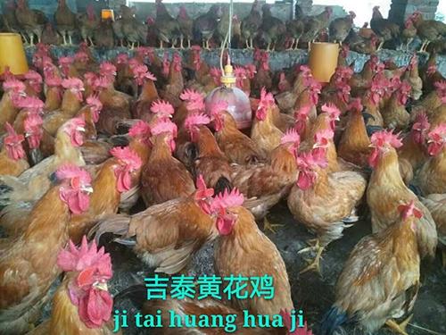 湖南黄花鸡价格