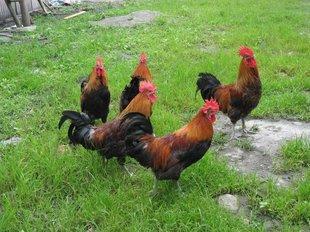 湖南黑土鸡