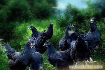 株洲黑土鸡